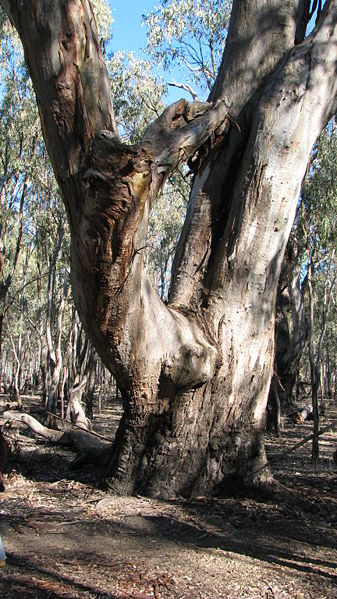Eucalyptus Camaldulensis Tronco