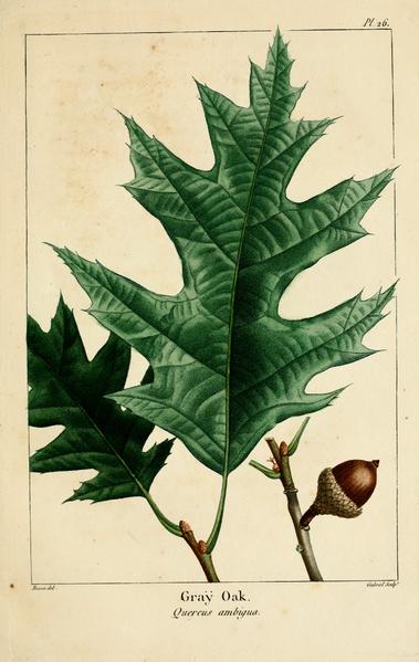 Quercus rubra hoja y fruto