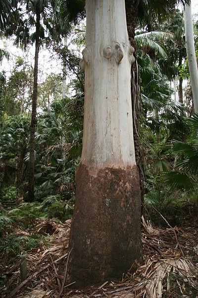 Eucalyptus Grandis Tronco