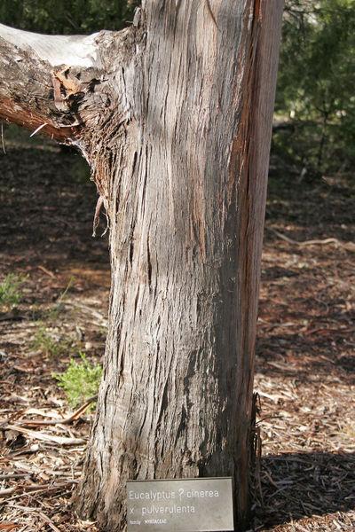 Eucalyptus Cinera Tronco