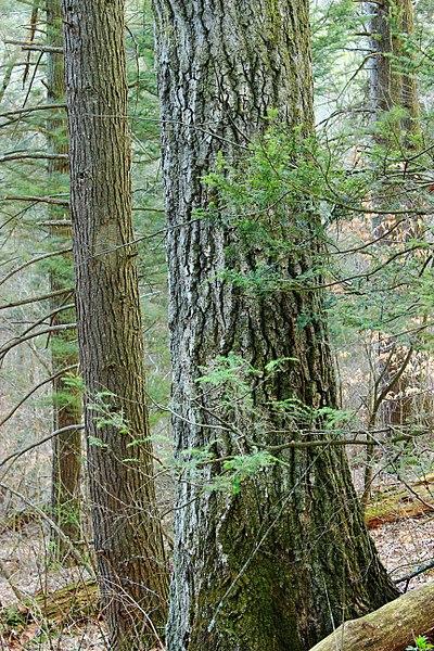 roble rojo madera tronco