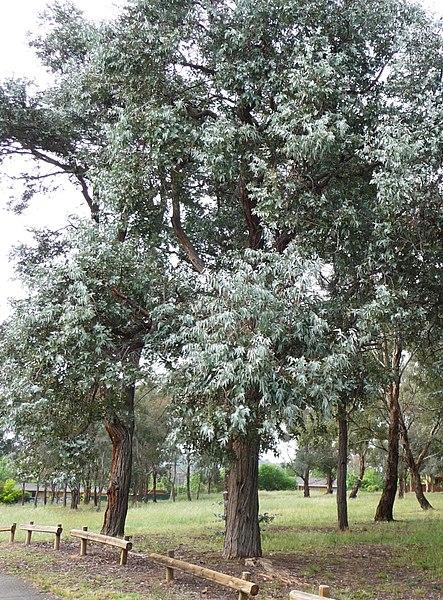 ᐈ Eucalyptus Cinerea árboles Exóticos