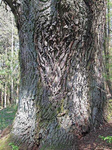 Roble Común tronco