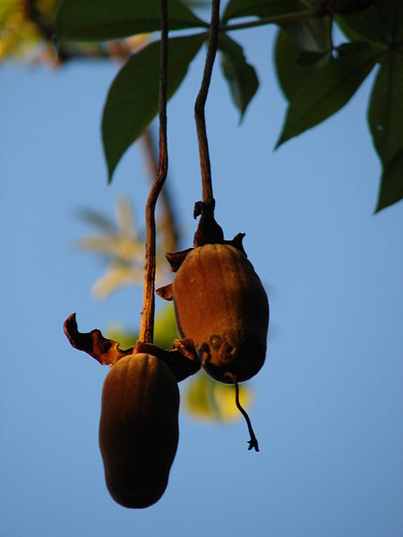 Baobab Fruto