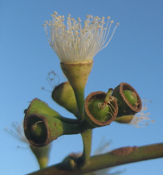 Fruto de Eucalipto