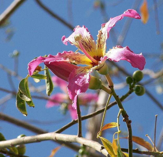Chorisia speciosa flor