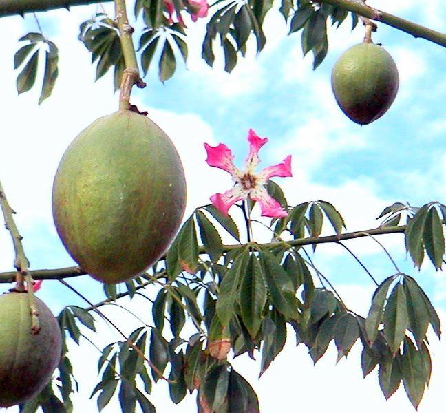fruto de chorisia speciosa