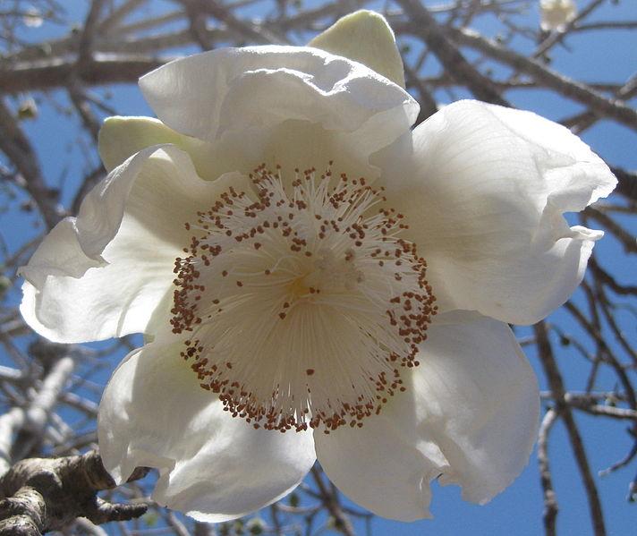 Baobab Flor