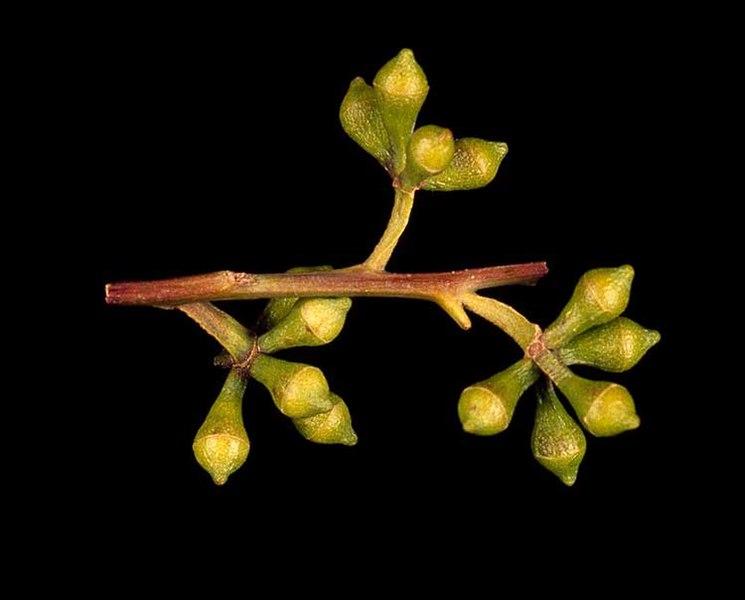 Eucalyptus Grandis Frutos Inmaduros