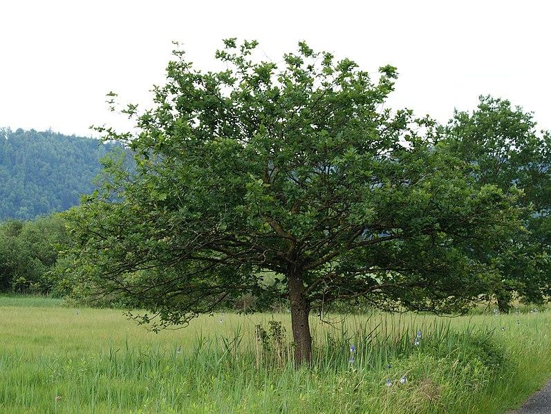 quercus robur arbol nacional