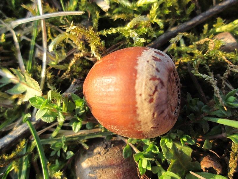 Quercus Rubra fruto