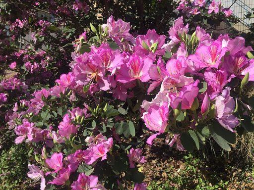 Bauhinia variegat