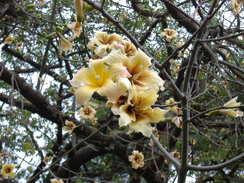 Ceiba Chodatii Flor
