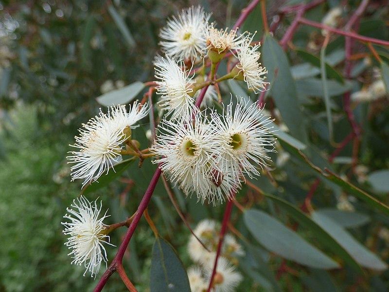 Eucalyptus Camaldulensis Flores