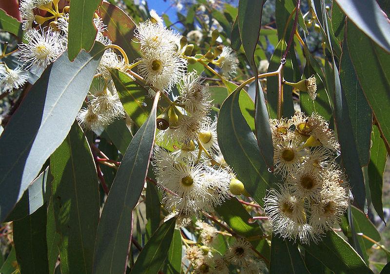 Eucalyptus Flores
