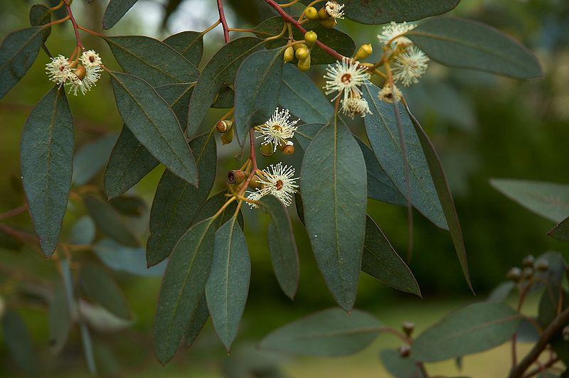 Eucalyptus gunnii flores