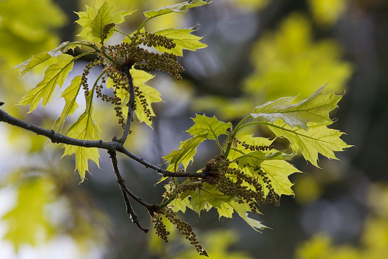 Quercus Rubra hojas