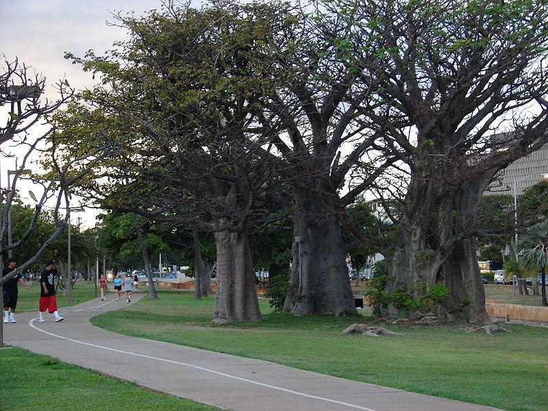 Adansonia digitata en el parque