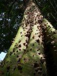 Espinas del tronco de la Ceiba Pentandra
