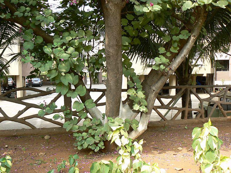 Bauhinia Purpurea Tronco