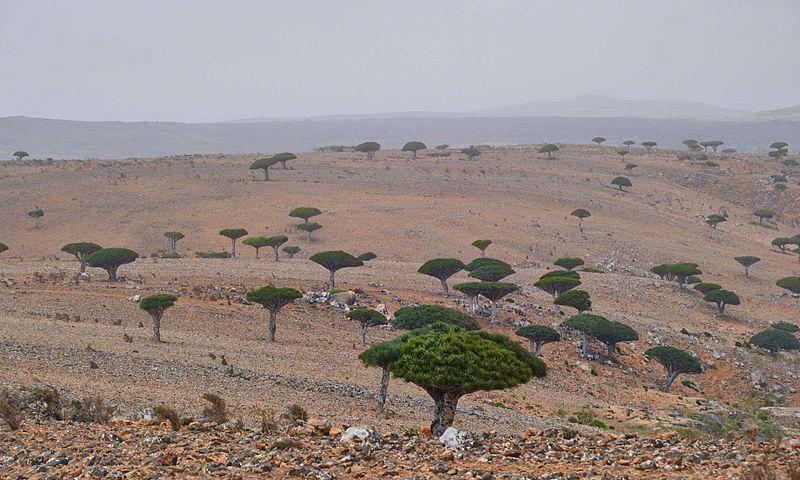Dracaena Cinnabari en archipielago de Socotra