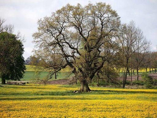 Quercus roble