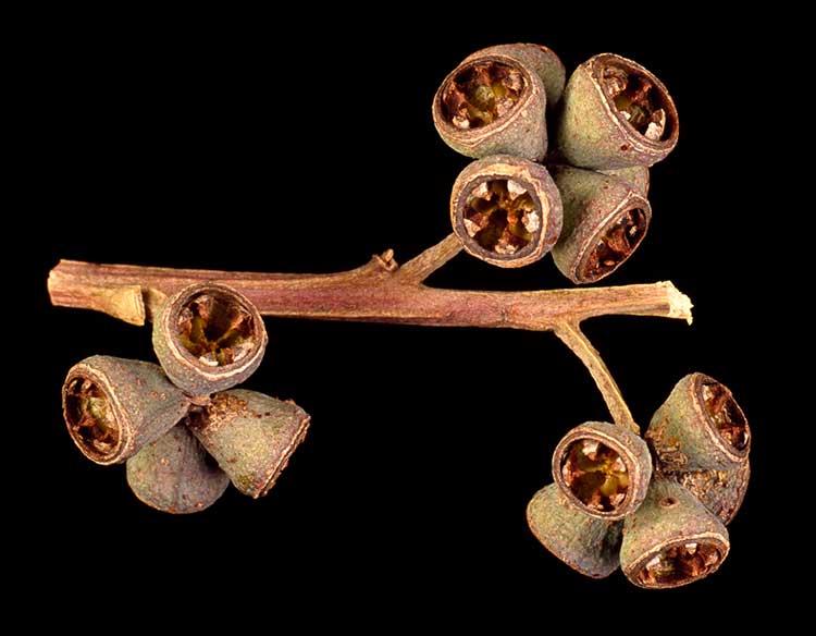 Eucalyptus Grandis Frutos Maduros