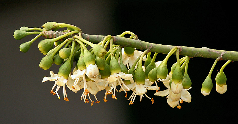 Flores de la ceiba pentandra