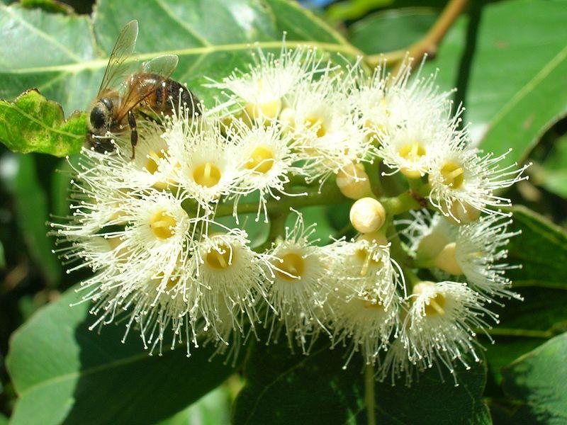 Eucalyptus deglupta (flores)