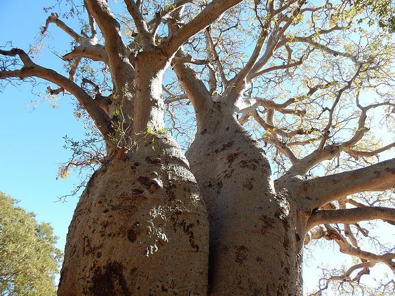 Adansonia gregorii