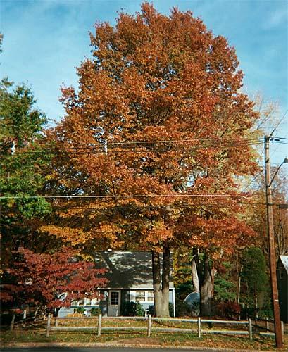 Quercus_palustris