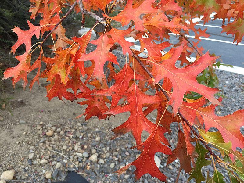 Quercus Palustris Hojas rojas