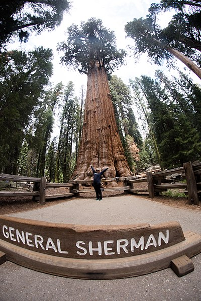 árbol General Sherman