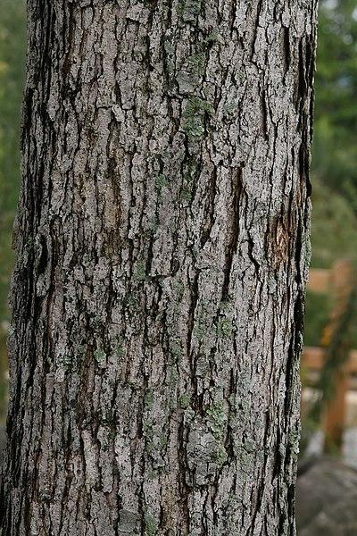 Quercus_alba_tronco