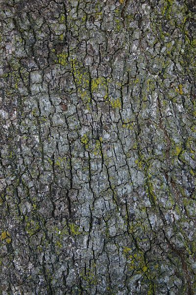 Quercus ilex tronco