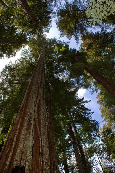 sequoia arbol