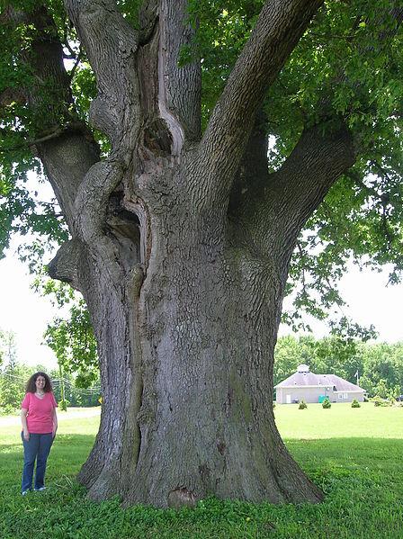 Quercus Alba tronco