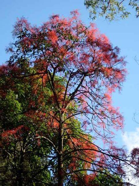 Árbol de Fuego Illawarra
