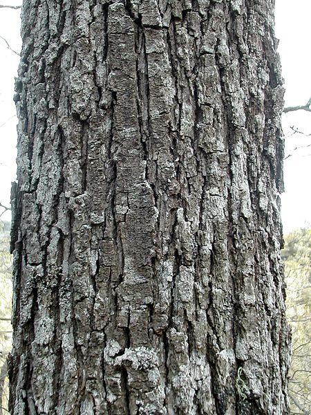 Quercus_petraea_tronco