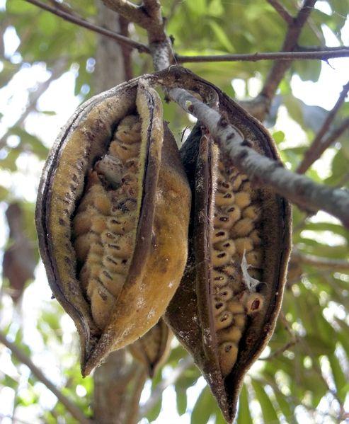 Brachyciton Rupestre Fruto