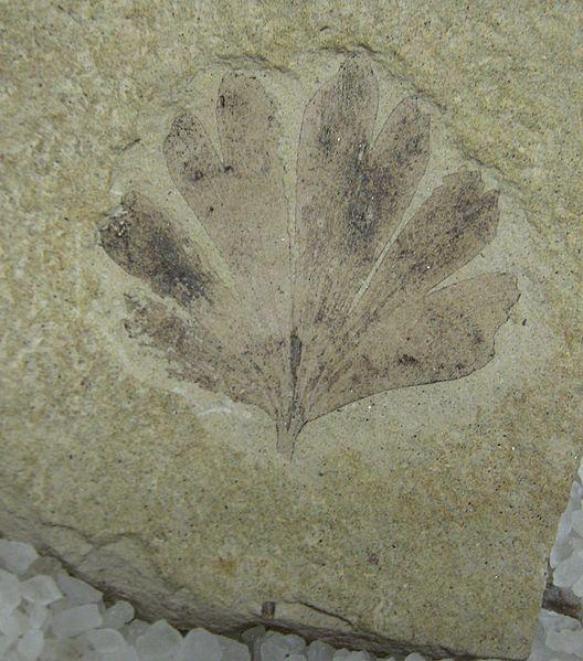 Ginkgo fosil