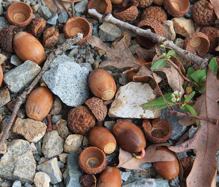 Quercus_alba_bellotas