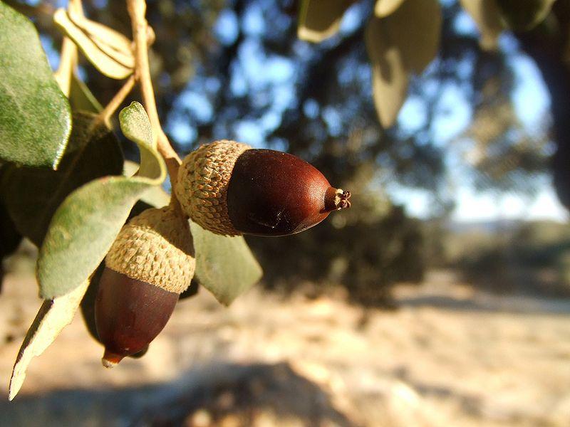 Quercus ilex fruto bellotas