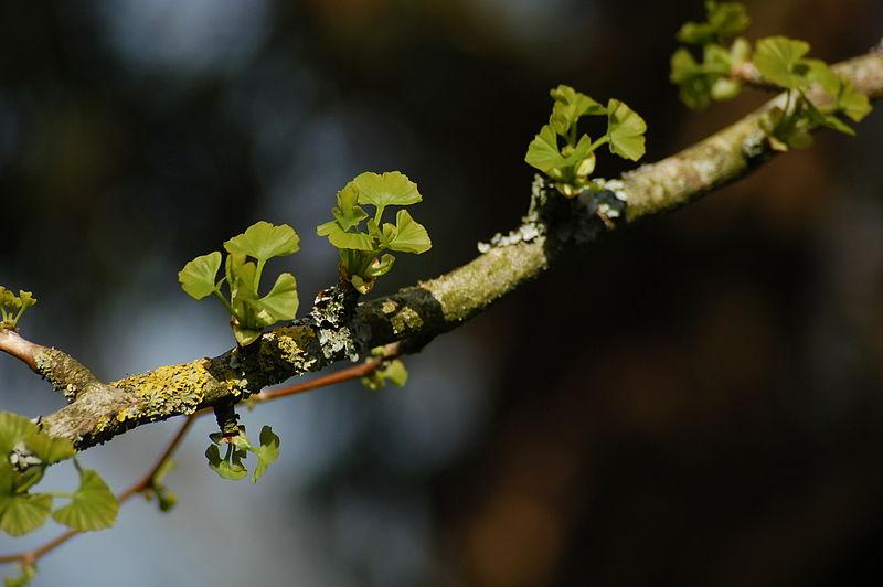 Gingko_biloba hojas jovenes