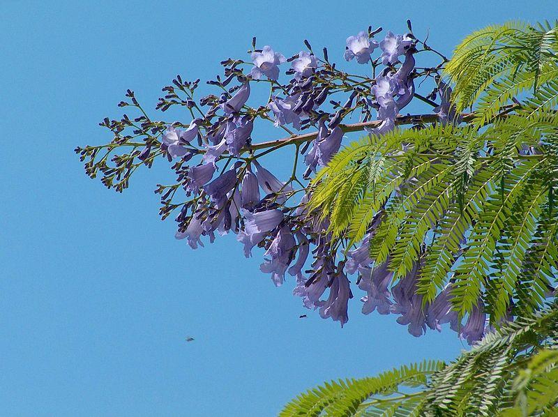 jacaranda flor