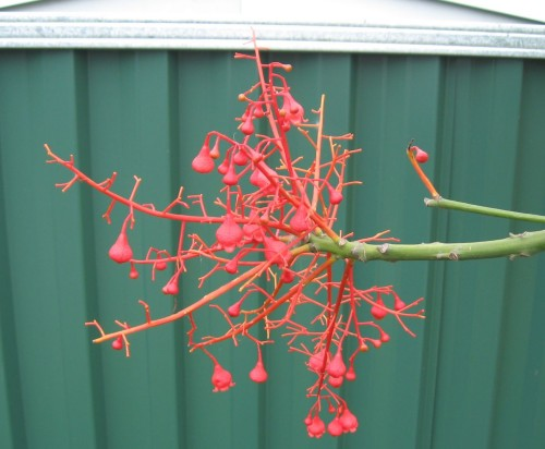 Brachychiton flor