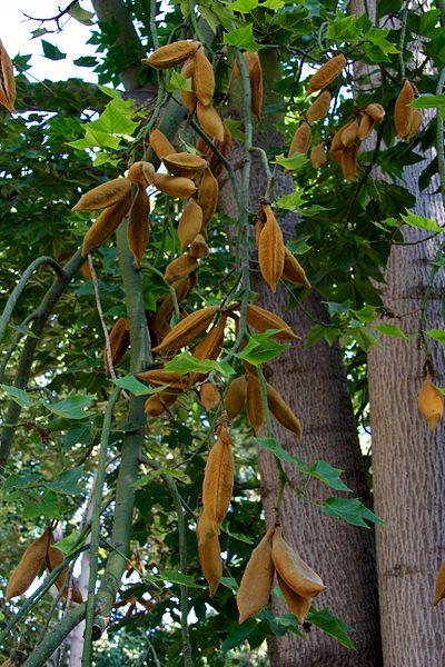 Brachychiton fruto hojas tronco