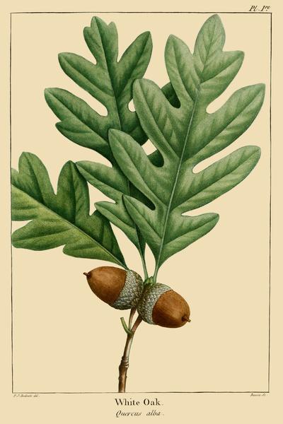 Quercus_alba_Hoja_fruto
