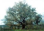 Quercus_alba