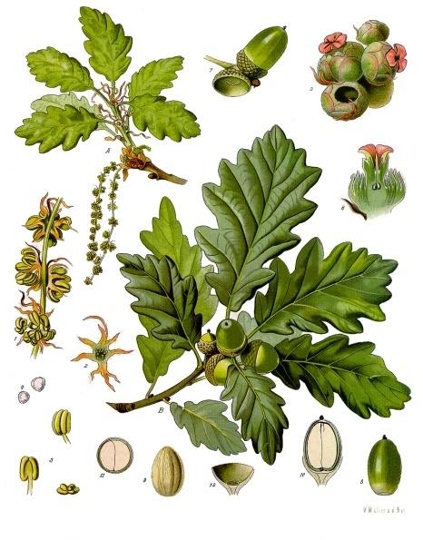 Quercus Petraea Hojas